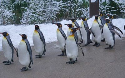 Do the Penguin Walk!